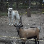 Goji and the goats